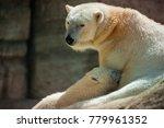 the polar bear is a carnivorous ... | Shutterstock . vector #779961352