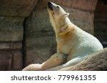 the polar bear is a carnivorous ... | Shutterstock . vector #779961355
