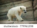 the polar bear is a carnivorous ... | Shutterstock . vector #779961358