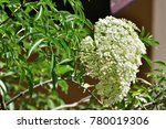 Small photo of Sambucus simpsonii (American elder) ; An outstanding of small fully blooming white flowers, bunch together into a large bouquet. Increased prominence by green leaves. natural sunlight.