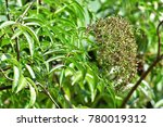 Small photo of Sambucus simpsonii (American elder) ; An outstanding a bouquet of young bud fruits, green and round. showing out after wilted flowers. clinging at tip, long stalk. Increased prominence by green leaves