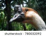 Domestic Goose Or Swan Goose O...