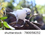 sulphur crested cockatoo | Shutterstock . vector #780058252