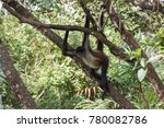 Spider Monkey In Belize Forest