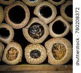 red mason bees   osmia bicornis ... | Shutterstock . vector #780208372