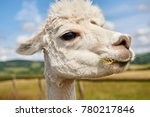 A Pretty Alpaca Chews Grass At...