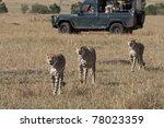 Three Male Cheetah Walking The...