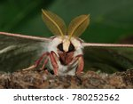 Small photo of Luna Moth (Actias luna) male portrait, NJ