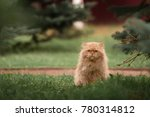 Red Persian Cat In The Grass