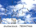 Reed And Sky. Blue Cloudy Sky...