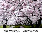 rows of cherry blossoms or... | Shutterstock . vector #780593695
