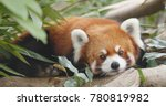 cute red panda  | Shutterstock . vector #780819982