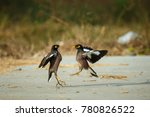 Small photo of bird Acridotheres fighting.