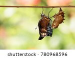 Small photo of Great female eggfly butterfly ( Hypolimnas bolina Linnaeus ) emerged from chrysalis and hanging on twig