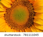 Close Up On A Sunflower ...