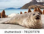 Elephant Seal On The Beach Of...