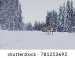 Group herd of caribou reindeers pasturing in snowy landscape, Northern Finland near Norway border, Lapland