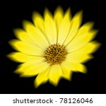 Yellow Daisy Osteospermum or Cape Daisy Flower with Radial Blur over Petals Isolated on Black Background. Macro Closeup - stock photo