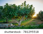 Fig Tree In Salento At Sunset ...