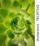 Small photo of Green Aeonium Cactus Core