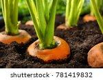 carrots growing in soil  closeup