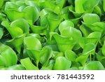 water hyacinth plants green...   Shutterstock . vector #781443592