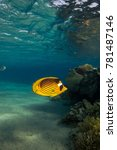 Small photo of Red Sea Raccoon Butterflyfish (Chaetodon fasciatus)