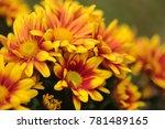 the yellow red chrysanthemum... | Shutterstock . vector #781489165