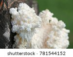 Small photo of Coral tooth fungus, Hericium coralloides, also known as monkey's head, lion's mane, and bear's head, is a traditional and highly appreciated medicinal fungus.