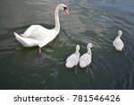 Swan Family With Little Sweet...