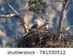 Birds Bald Eagle Nest In The...
