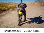 An Adorable Great Dane Puppy...