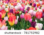beautiful colorful tulips in... | Shutterstock . vector #781752982