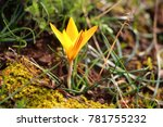 Alpine Crocus Blossom On Top O...