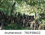 Shiitake Hoda Tree