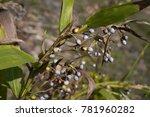 coix lacryma jobi job's tears... | Shutterstock . vector #781960282