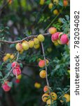 Small photo of Cherry plum, myrobalan background green leaves