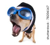 Stock photo a tiny a bobblehead chihuahua with goggles and a jacket 78206167