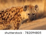The spotted hyena  crocuta...