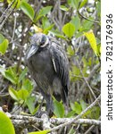 Small photo of Yellow-crowned night heron, Nyctanassa violacea, Santa Cruz, Galapagos Islands, Ecuador