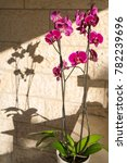 Small photo of Blooming Vanda Orchid
