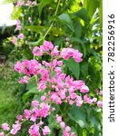 pink coral vine flowers and... | Shutterstock . vector #782256916