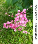 pink coral vine flowers and... | Shutterstock . vector #782256922