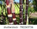Sugarcane Tree Background