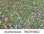 Many Fallen Wild Fresh Apples...
