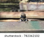 Male Eastern Fence Lizard ...