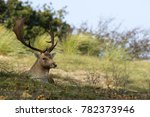 Male Fallow Deer Lying On The...