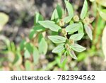 euphorbia hirta  garden spurge  ...   Shutterstock . vector #782394562