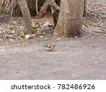 redbreast  erithacus rubecula ... | Shutterstock . vector #782486926