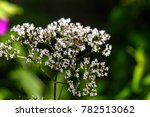 the valeryan flower growing on... | Shutterstock . vector #782513062